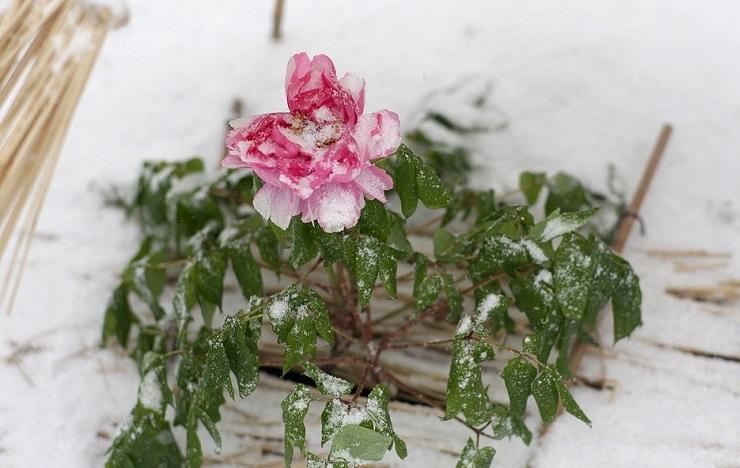 пионы зимой